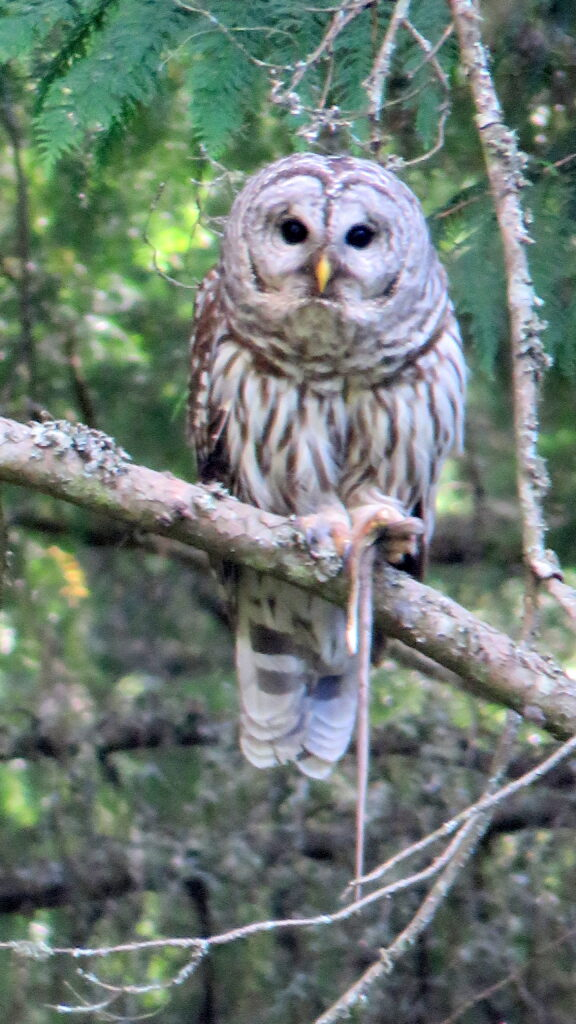 Barred Owl with dinner